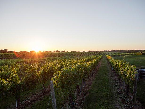 Vineyard at Sunrise