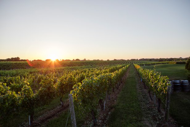 Vineyard at Sunrise