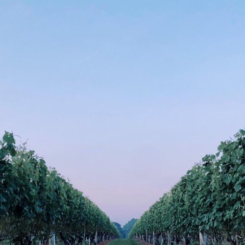 Clear skies and full vines, we miss you 🍃📸@rybitz . . . . . . . . . .  #wolffer #wolfferwine #wolfferestate #wolfferestatevineyard #wolfferstyle #wine #winemaking #winelover #winetasting #wolffercider #wolfferrose #rosecider #rosécider #hardcider #roséallday #Rosé #roséseason #applecider #summerdrink #pinkdrink #sparkling #bubbly #summereats #pooldays #beach #montauk #hamptons #eastend #nyc