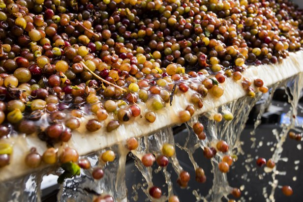 freshly harvested grapes falling to be crushed
